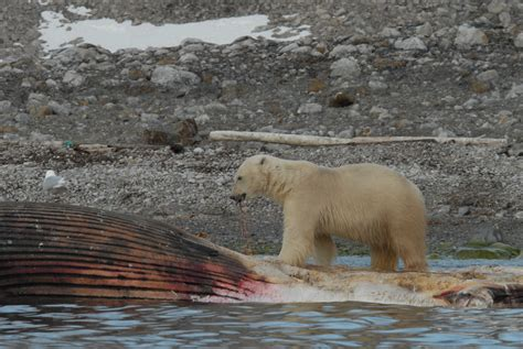 le monde de l ours polaire 187 alimentation
