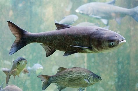 asian fish asian carp would significantly alter but not destroy lake erie fisheries circle of blue
