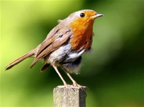 european robin information for kids