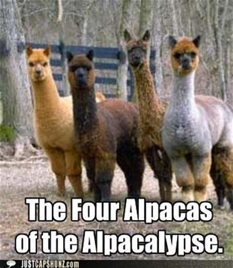 Alpaca Sheep Meme - 17 best images about alpaca humor on pinterest amigos miami and thoughts