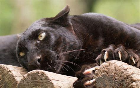 Black Jaguar Habitat by Black Panther Description Features Lifestyle And