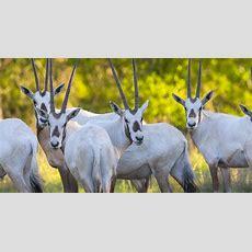 Arabian Oryx  Wildlife Partners, Llcwildlife Partners, Llc