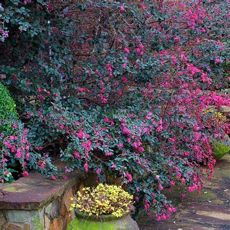 flowering shrubs zone 9 loropetalum chinense zones 7 9 full sun to partial shade gardening pinterest gardens