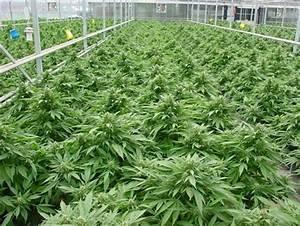 massachusetts weed