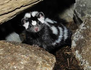 Civic Cat Skunk Images - Reverse Search