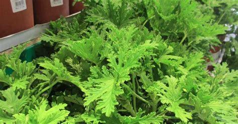 mosquito plant scientific name my plant finder plant guide pelargonium sp