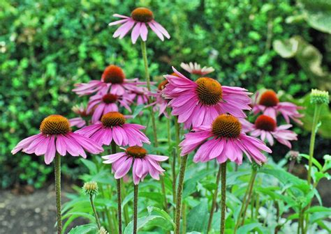 cone flowers coneflower care growing and planting purple coneflower