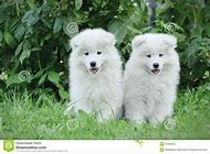 Samoyed Dog Puppies