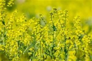 Wann Blüht Flieder : senfpflanze erkennen der unterschied zwischen senf und raps ~ Lizthompson.info Haus und Dekorationen