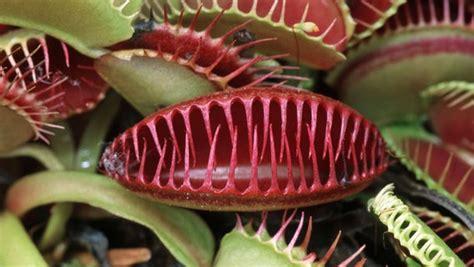 sonnentau pflanze pflege fleischfressende pflanzen pflegen ndr de ratgeber garten zimmerpflanzen