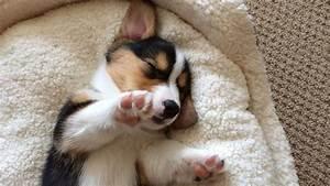 CUTE SLEEPING CORGI PUPPY COMPILATION - Grows Up! - YouTube