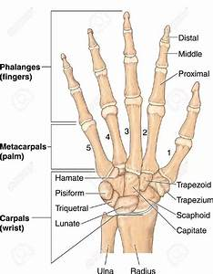 What are carpals, metacarpals, and phalanges? - Quora
