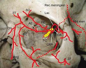 Arterial Supply To The Orbit  Note The Anastomoses Between