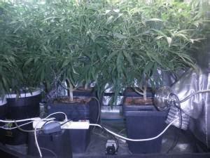 quel terreau pour cannabis interieur comment cultiver du cannabis en billes d argile du growshop alchimia