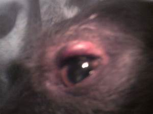 answer np id=6706 swelling above dogs eye