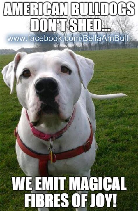 how much do american bulldogs shed best 25 american bulldogs ideas on american