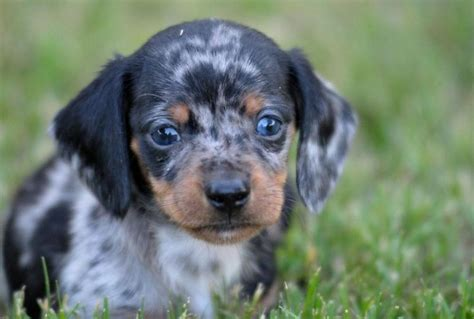 cute dachshund puppy face picturejpg  comments  res
