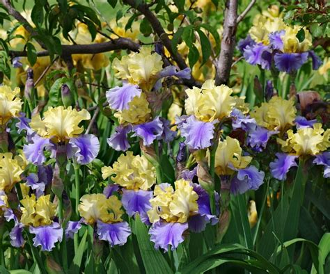 care of iris irises plant care and collection of varieties garden org