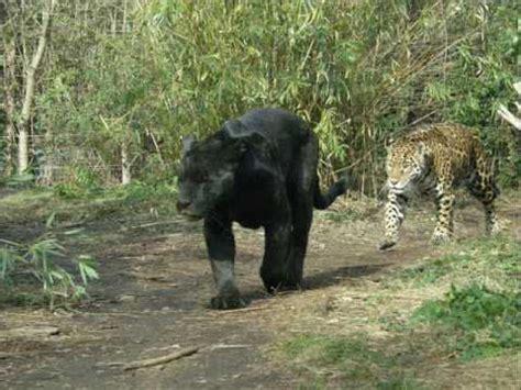 Jaguars Moving by Jaguar Panther Moving Around
