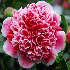 Camellia Japonica Winterhart : camellia japonica volunteer exquisite large flowered evergreen in bud large 130 160cm specimen ~ Eleganceandgraceweddings.com Haus und Dekorationen