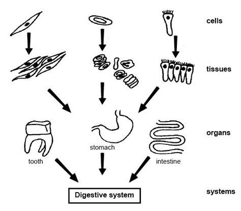 fileanatomy  physiology  animals forming digestive