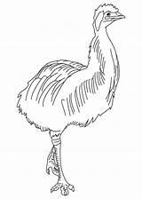 Emu Coloring Bird Largest sketch template