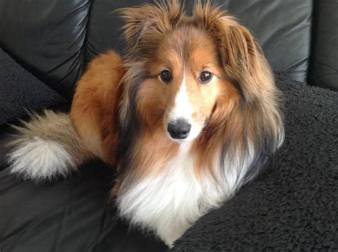 sheltie shedding in winter sheltie nation largest community of sheltie on