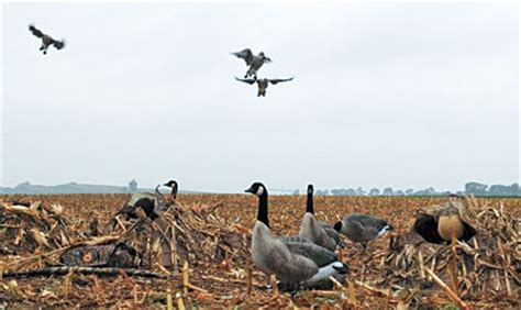 goose hunting tips    hunt military hunting