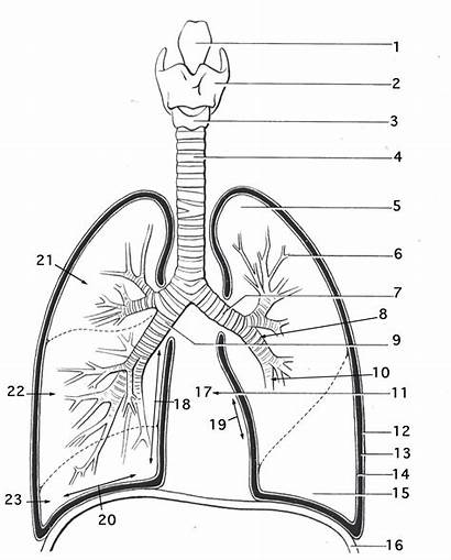 Lungs Respiratory Coloring System Printable Worksheets Anatomy