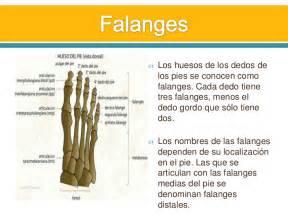 of pi resumen en ingles huesos y m 250 sculos pie