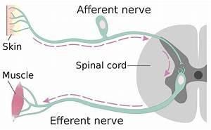 Afferent Nerve Fiber
