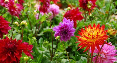 how do you grow dahlias how to grow dahlias better homes gardens