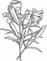 Lily Coloring Pages Flowers sketch template