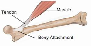 10 Facts About Tendons