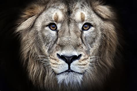 ultra hd lions wallpapers top   ultra hd lions