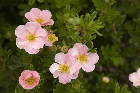 Pink Beauty Potentilla - Plant Library - Pahl's Market ...