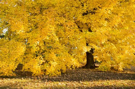 trees with yellow leaves in fall amazing golden autumn maple tree hangs heavy with its fall