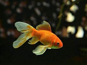 Goldfish  Interesting And Surprising Facts About A Popular Pet