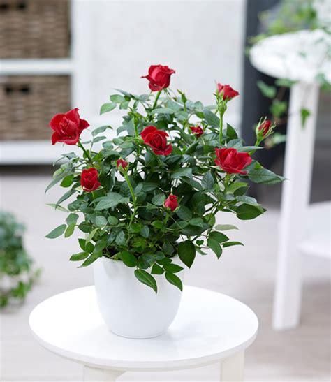 zimmerrosen im topf pflege topfrose rot 1a zimmerpflanzen kaufen baldur garten
