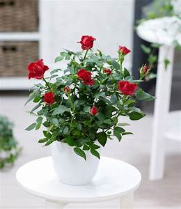 Rosen Im Topf Pflege : topfrose 39 rot 39 1a zimmerpflanzen online kaufen baldur ~ Lizthompson.info Haus und Dekorationen