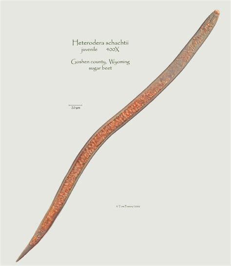 Heterodera schachtii Photo Gallery-Wyoming