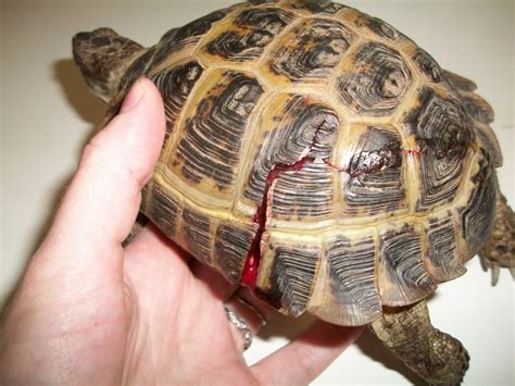 Box Turtle Shell Shedding by Amesbury Animal Hospital December 2010 Happy Holidays