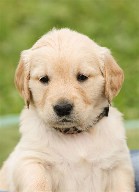 puppy pictures free photo puppy dog golden retriever pet free image on pixabay 1189023