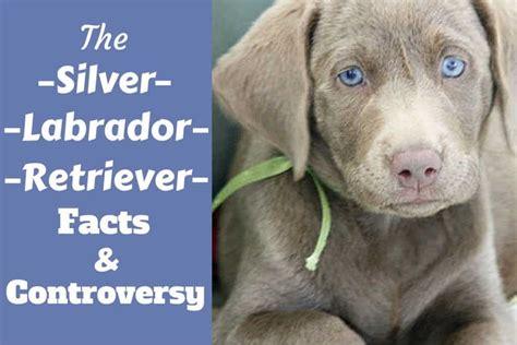silver labrador retriever facts  silver labs