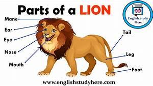 Parts Of A Lion Vocabulary