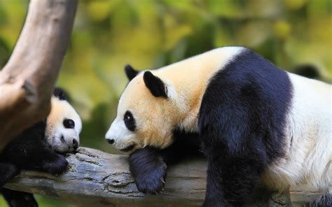 Animal Hd Wallpaper For Pc - panda hd wallpapers for desktop animals hd wallpapers
