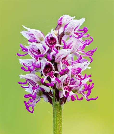 flower spike orchid wonky horizons photographing wild orchids