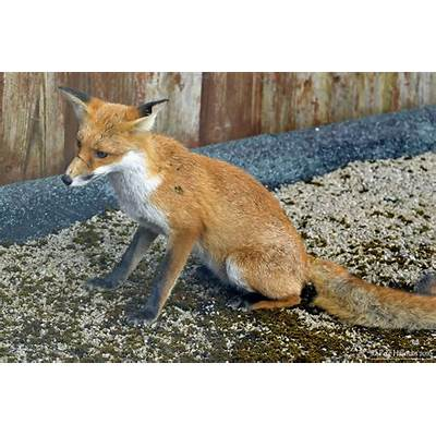 Fox Upon The Roof #2Pete Hillman's Nature Photography