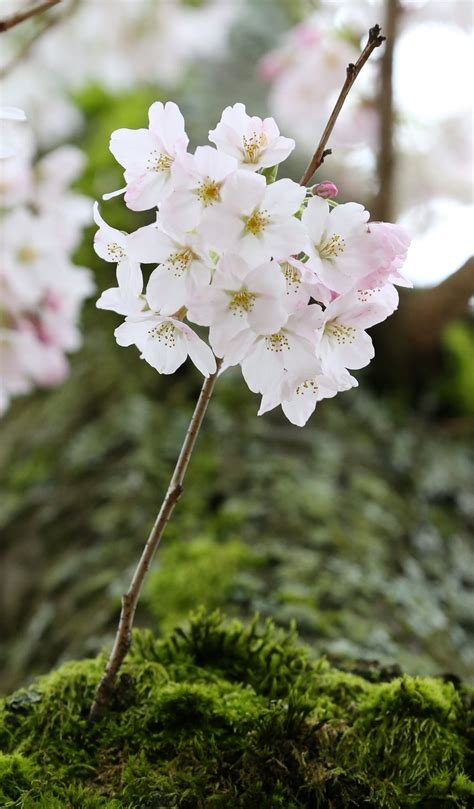 See UW campus cherry blossoms in bloom | The Seattle Times