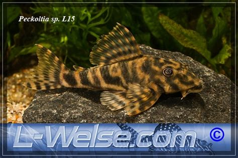 peckoltia sp   welsecom forum